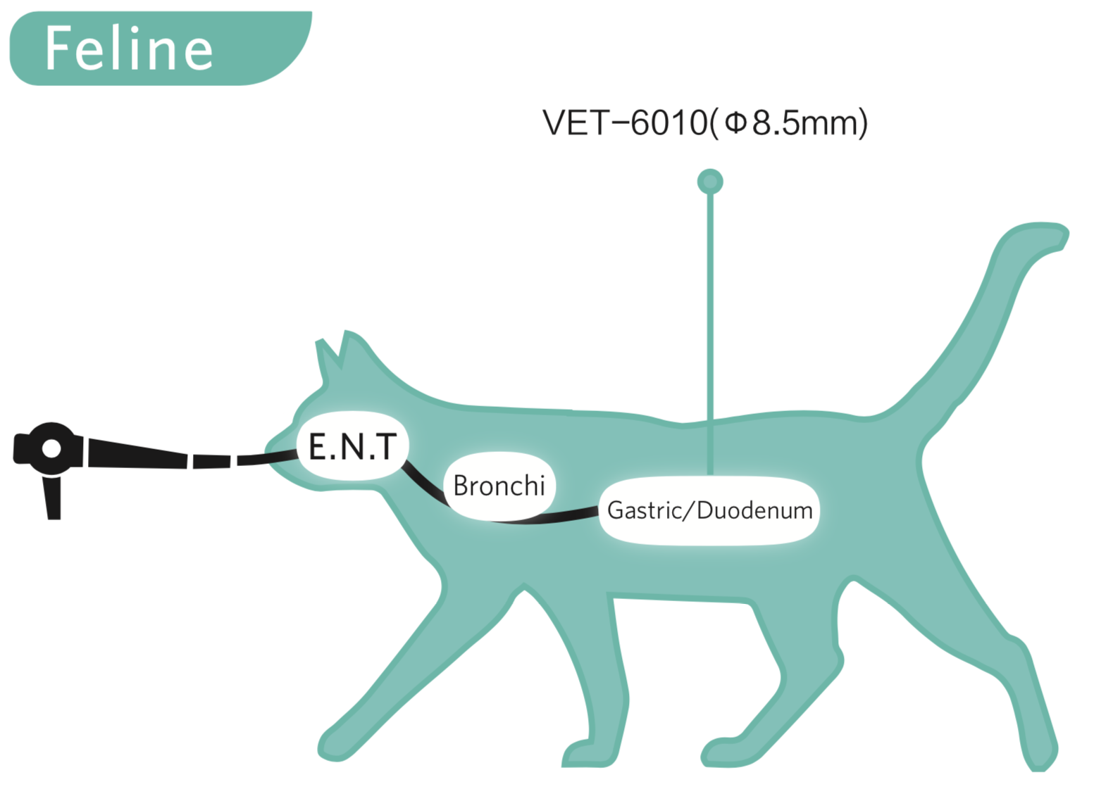 Feline Endoscopy